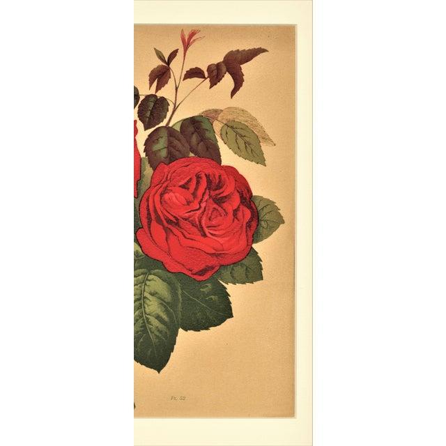 1880 Rose Botanical Chromolithograph - Image 4 of 4