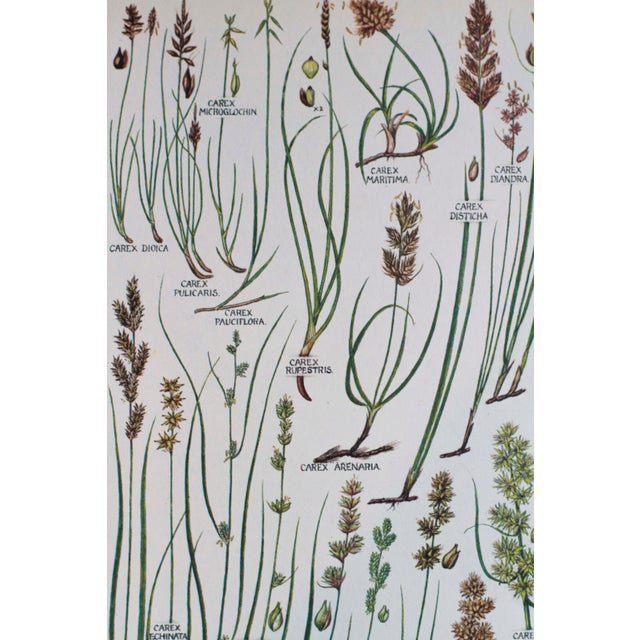 Vintage Botanical Wheat Prints - A Pair For Sale - Image 4 of 7