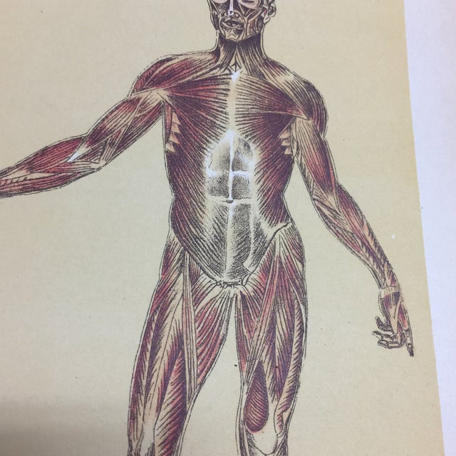 Illustration 1920s Antique Muscular System Medical Lithograph Print For Sale - Image 3 of 6