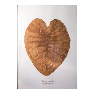 Monumental Pressed Elephant Ear by Blackwell Botanicals