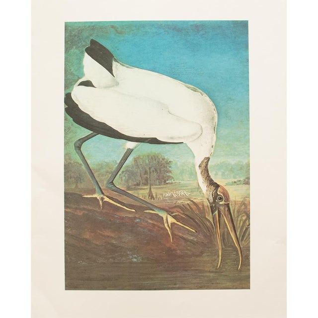 Exceptional large vintage reproduction of the original lithographic print of Wood Ibis by John James Audubon from his book...