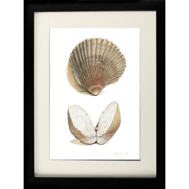 Detailed natural history original drawing of Cockle Shells. Contemporary art with old world qualities of craftsmanship,...