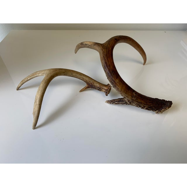 These two real deer antlers were recently found. The antlers consist of browns, reds, and beiges. There are two different...