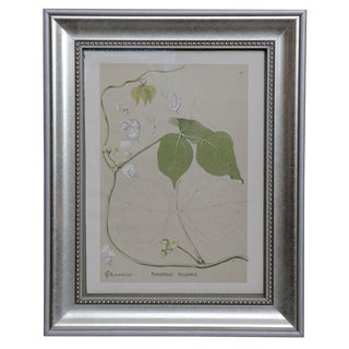 Framed Phaesolus Vulgaris Illustration For Sale