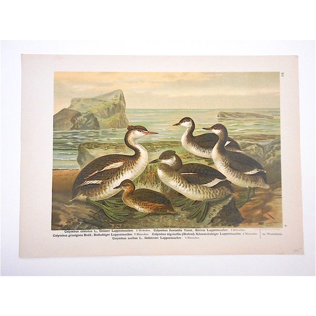 Rustic Antique Bird Lithograph, Water & Shore Birds For Sale - Image 3 of 3