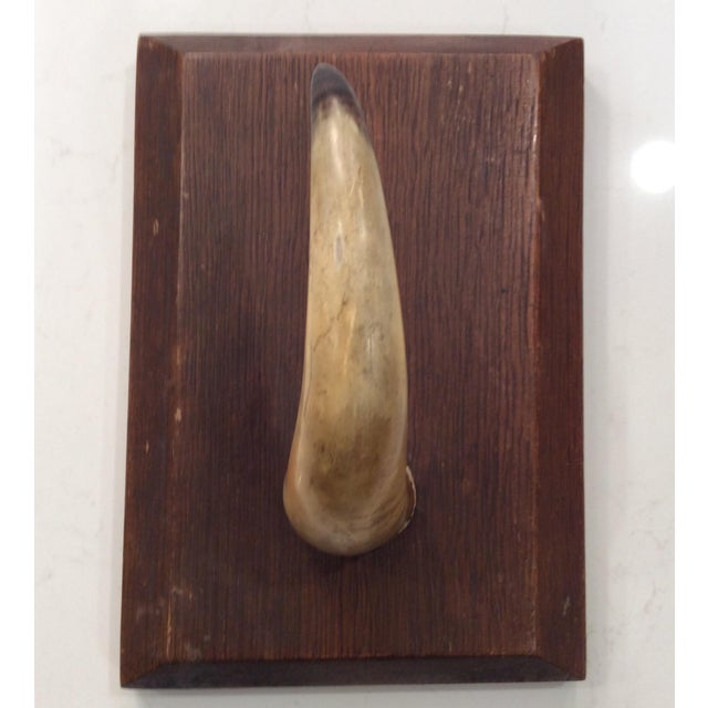 """Vintage mid 20th century natural horn mounted on wood plaque. Plaque size 6.5"""" X 9 3/8"""" X 1 3/8"""" depth w/beveled edge. The..."""