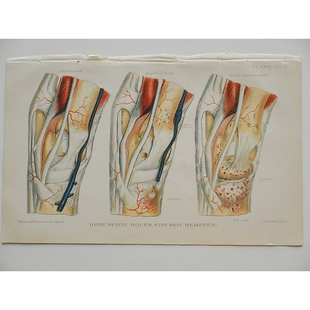 Antique Horse Veterinary Lithographs - Set of 3 - Image 3 of 5