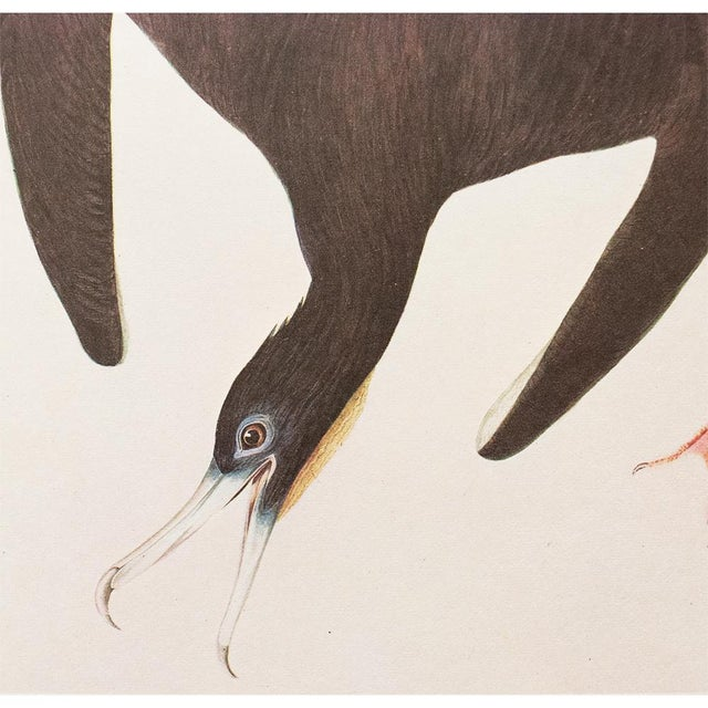 1966 Cottage Lithograph of Magnificent Friagtebird by Audubon For Sale In Dallas - Image 6 of 7