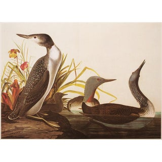 """1960s Cottage Style """"Red Throated Diver"""" Lithograph Print by John James Audubon For Sale"""