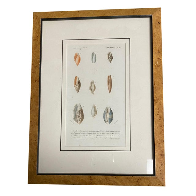 Early 19th Century Antique French Mollusk Seashell Engravings - Set of Four For Sale - Image 5 of 13