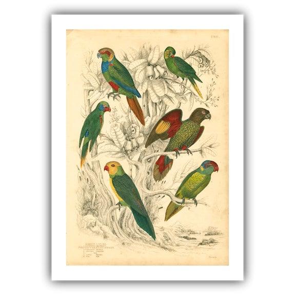 Vintage Parakeets Archival Print - Image 1 of 3