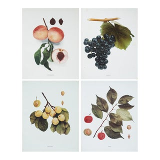 1900s Large Botanical Photogravures by Hedrick - Set of 4