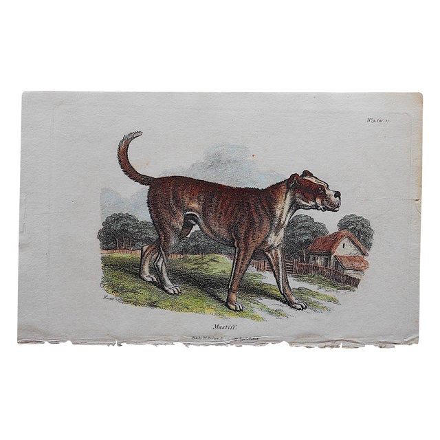 Antique English Mastiff Engraving For Sale