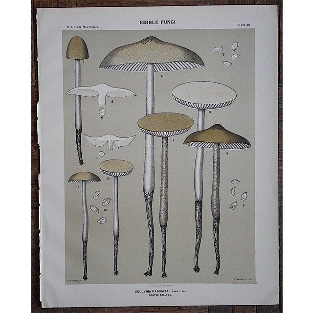 Antique Gray Mushroom Chromolithograph - Image 2 of 3