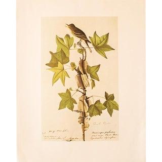 Traill's Flycatcher by John James Audubon, 1966 Vintage Print For Sale