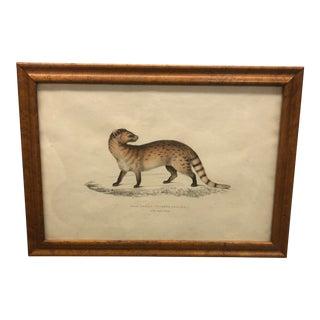 """Vintage Framed Zoology Illustration: """"Pale Genet, Viverra Pallida. 1/2 Natural Length. China"""" For Sale"""