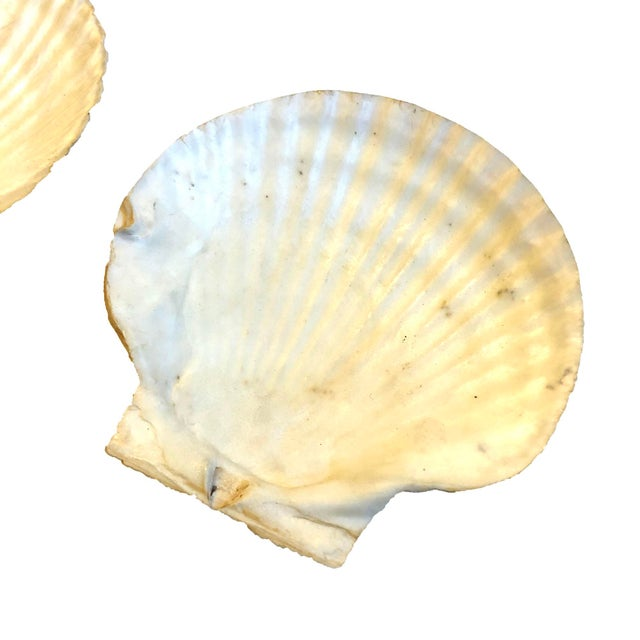 Vintage Clam Shells, Set of 2 For Sale - Image 4 of 5