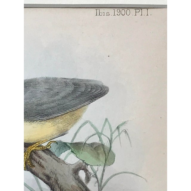 1900 - 1909 Antique Lithograph of Birds Isis Ornithological Journal 1909 For Sale - Image 5 of 7