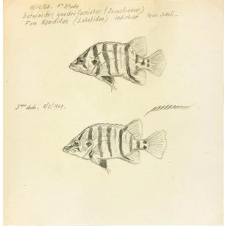1968-69 Fish Pencil Drawing, Marcel Bourgeois - Silver Tiger Perch For Sale