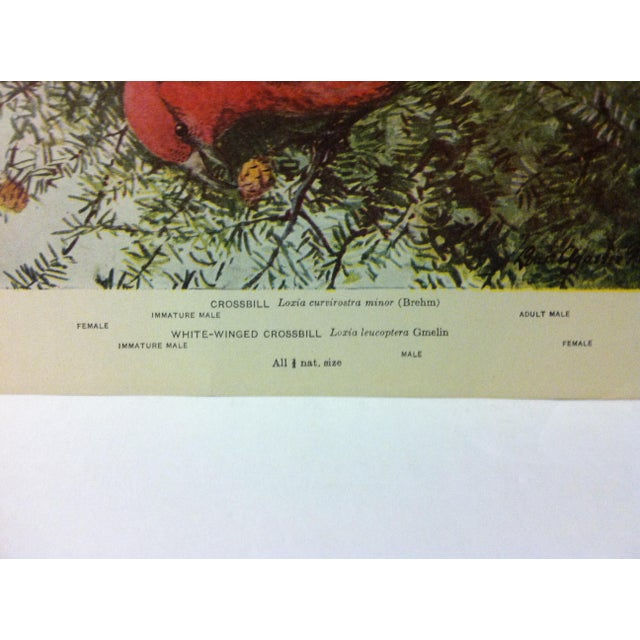 """Realism 1925 """"Crossbill"""" the State Museum Birds of New York Print For Sale - Image 3 of 4"""