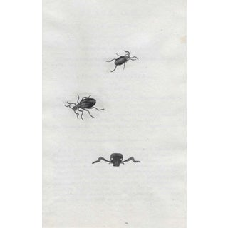 Antique Hand Colored Beetle Engraving For Sale