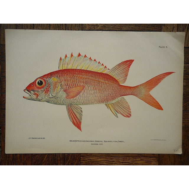 Antique Tropical Fish Lithographs - Set of 3 - Image 5 of 5