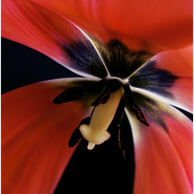 "Karen A Dombrowski-Sobel ""Inside Tulip"" Photograph - Image 2 of 5"