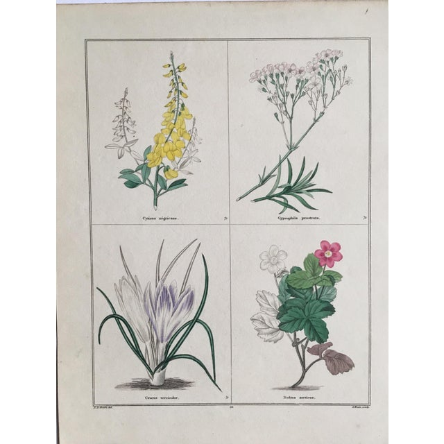 Delightful hand colored copper plate engraving from The Botanic Garden by Benjamin Maund (1790-1863) Maund was a...