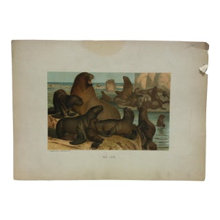 "Vintage Mounted Color Animal Print, ""Sea Lion"" by Selmar Hess Publisher For Sale"