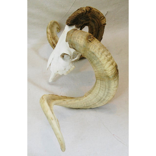 Large Vintage Ram's Skull with Curly Horns - Image 6 of 9
