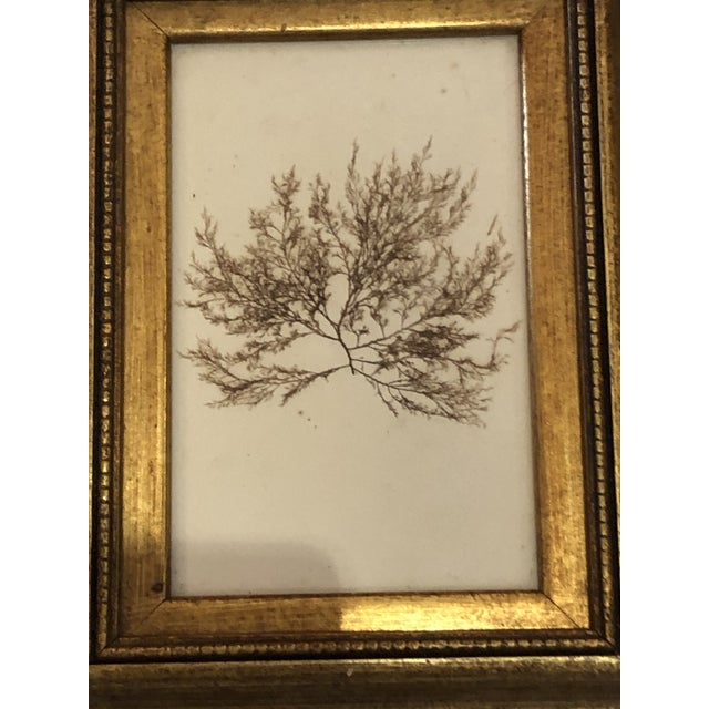 Mid 19th Century 19th Century Pressed Organic Botanicals in Giltwood Frames -Set of 3 For Sale - Image 5 of 11