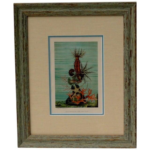 Holothurians & Sea Star Lithograph, Circa 1885 For Sale