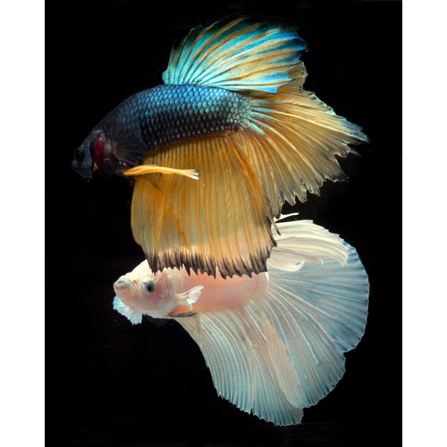 Color Photograph of 2 Male Beta Fish Swimming on Black Printed On Archival Fine Art Paper