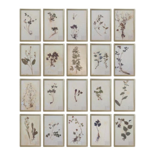 Framed Herbarium Plant Specimens From 1932 - Set of 20 For Sale