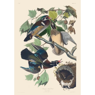 John James Audubon Print, Summer or Wood Duck For Sale