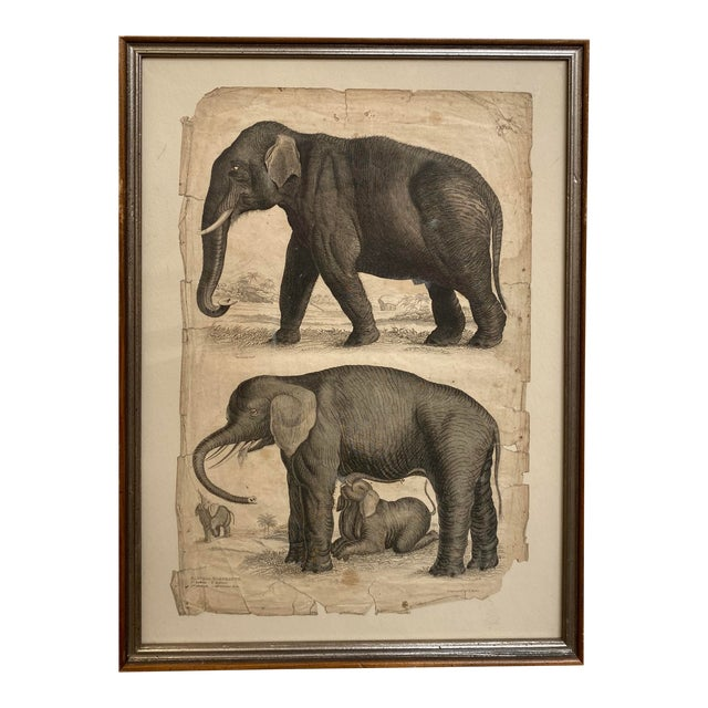 1890s Scientific Study of Elephants Print, Framed For Sale