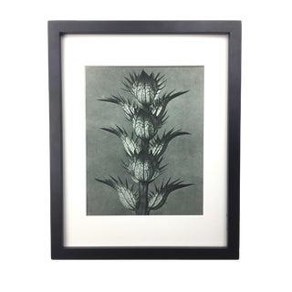 Framed Antique Photogravure Blossfeldt Botanical Print - No. 92 For Sale