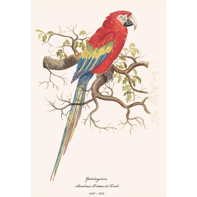 A beautiful reproduction print after watercolor of Scarlet Macaw by Anselmus Boëtius de Boodt (1550 - 1632), Flemish...