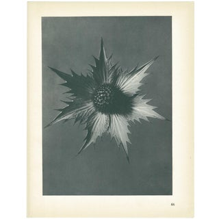 1928 Giant Eryngo by Karl Blossfeldt, Original Period Photogravure N66 For Sale