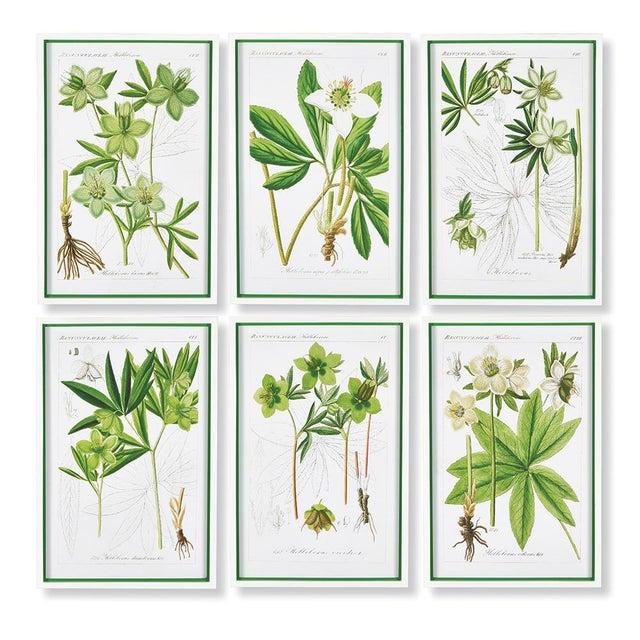 Traditional Hellebores Botanical Study Prints - Set of 6 For Sale - Image 3 of 3