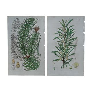Antique English Botanical Engravings - A Pair For Sale