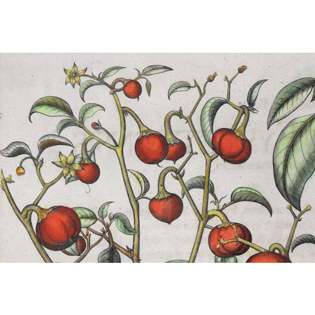 """Illustration """"Tomatoes"""" Botanical Engravings by Basilius Besler - a Pair For Sale - Image 3 of 6"""