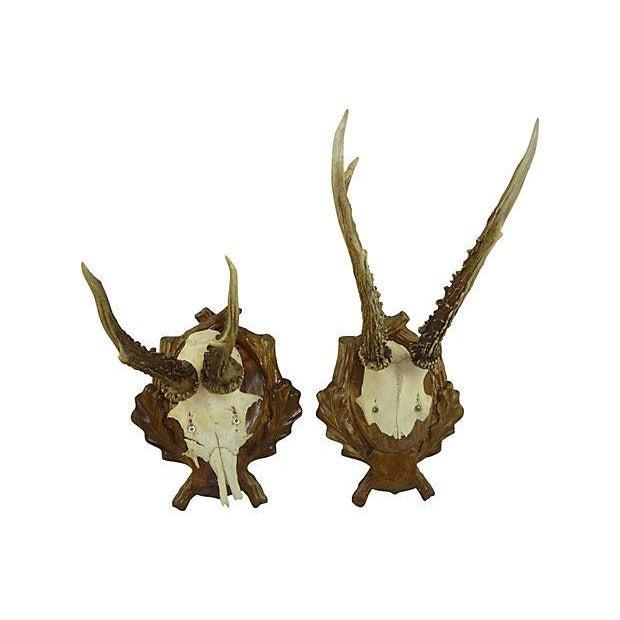 Antique Deer Antler Trophy Mount - Set of 5 - Image 2 of 6