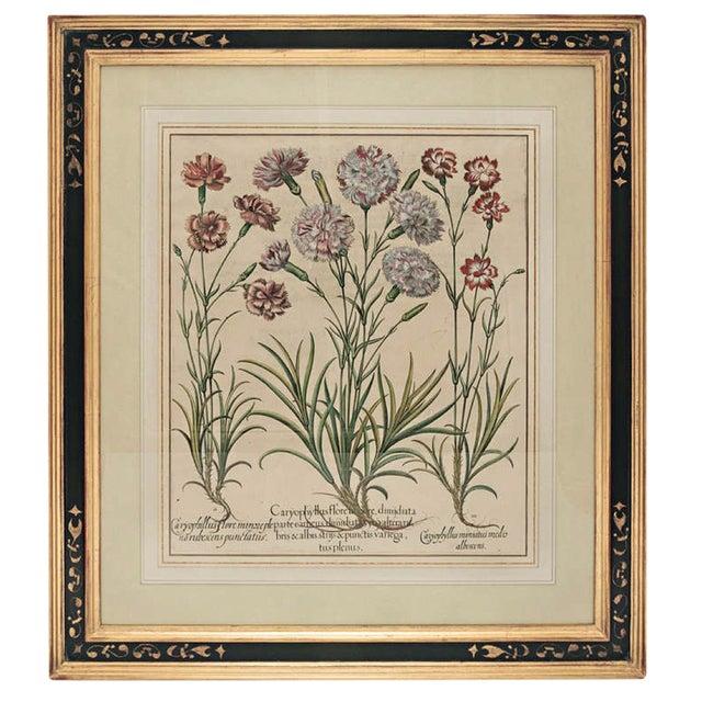 """Basil Besler """"Caryophyllus Major"""" Botanical Print For Sale"""