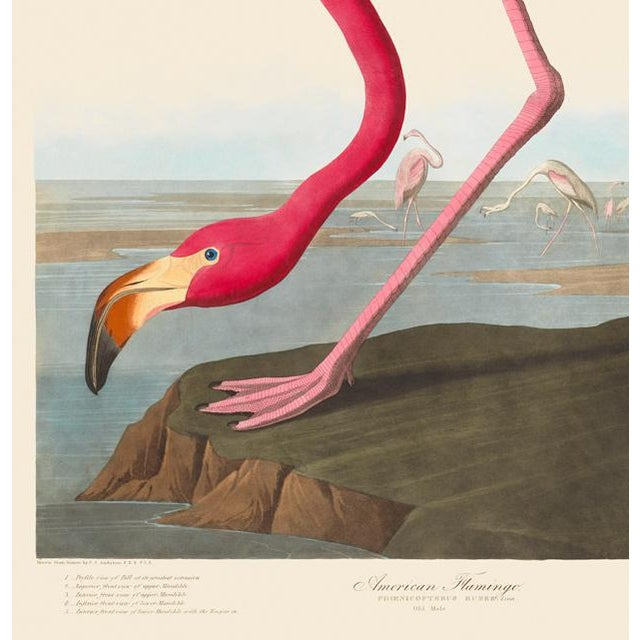 This is a special-edition print of the American Flamingo by John James Audubon from his landmark series, Birds of America....