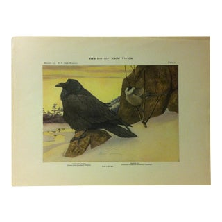 """1925 """"Northern Raven - Canada Jay"""" the State Museum Birds of New York Print For Sale"""