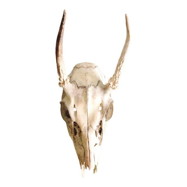 Vintage Deer Skull and Antlers For Sale