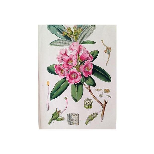 Antique Van Houtte Botanical Lithograph - Image 4 of 4