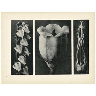 1928 Karl Blossfeldt Original Period Photogravure N109 of of Andromeda Floribunda For Sale