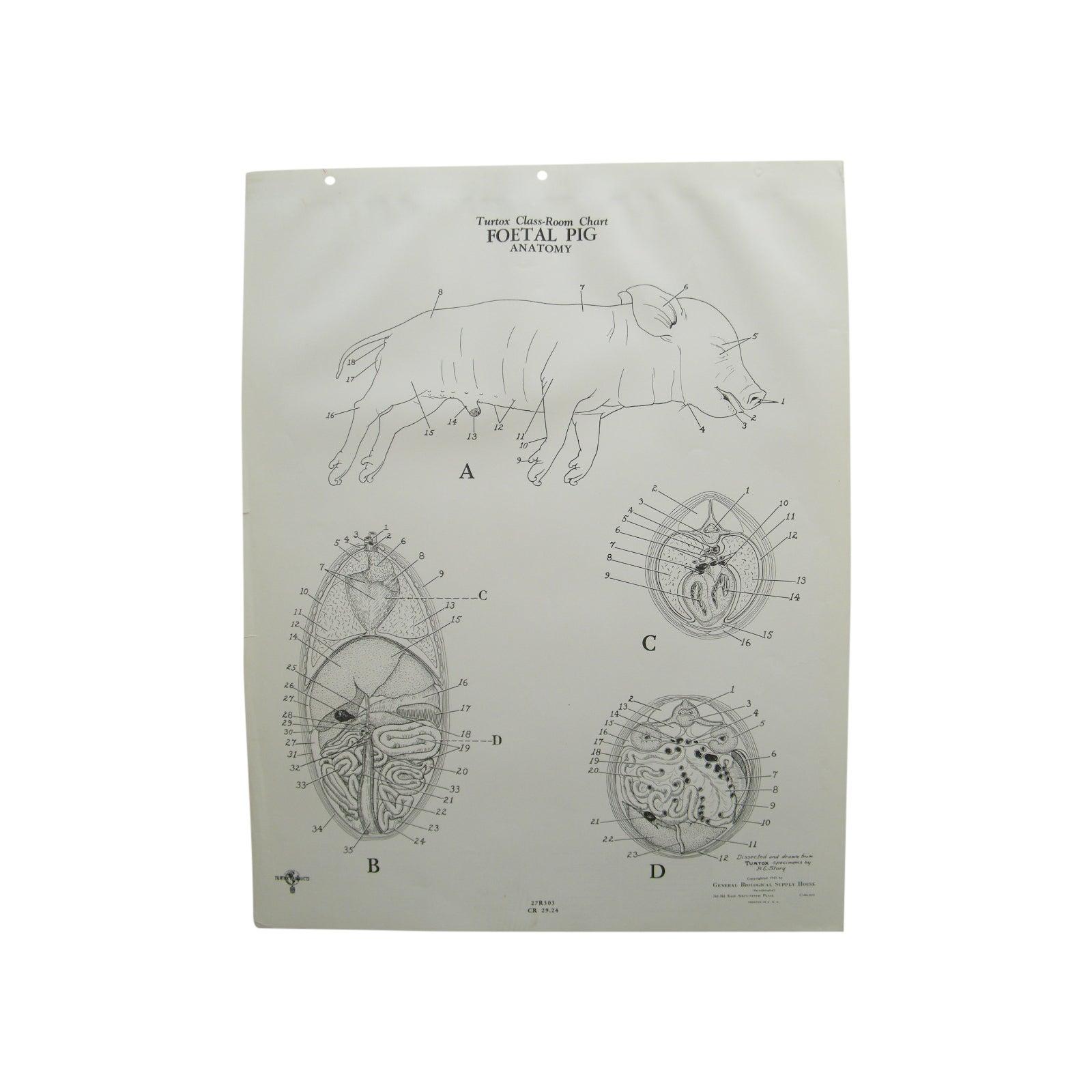 Luxury Fetal Pig Anatomy Illustration - Anatomy and Physiology ...